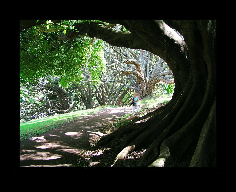 Ombu Tree, Elephant-Tree, Phytolacca dioica