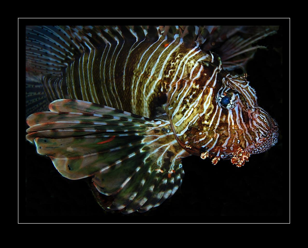 Pterois miles, Rotfeuerfisch