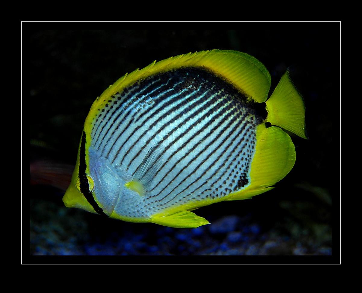 Falterfisch, Chaetodon melannotus