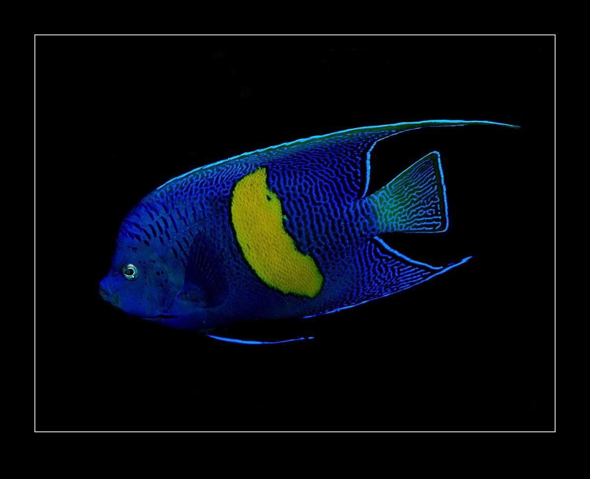 Kaiserfisch, Yellobar angelfish