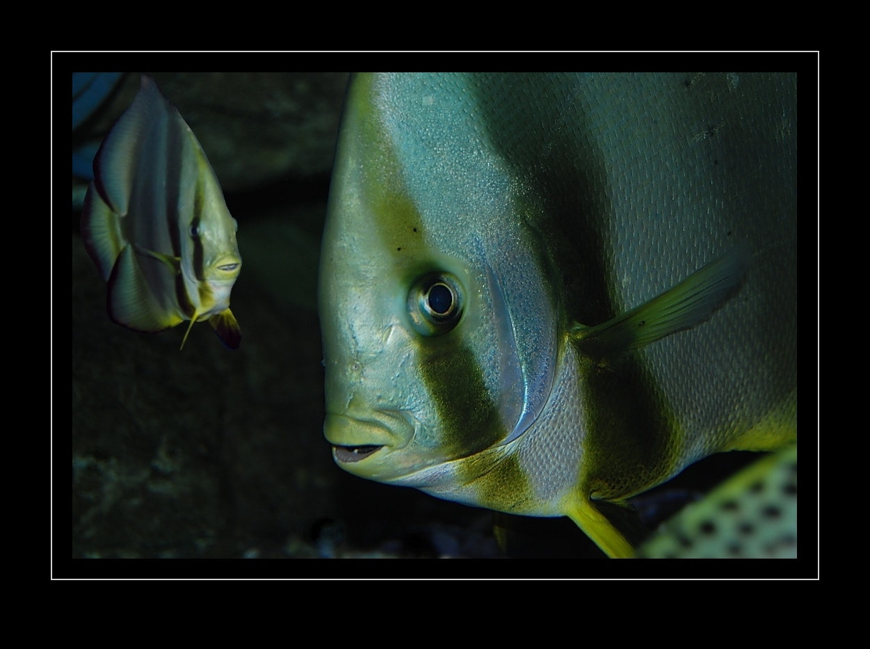 Rundkopf-Fledermausfische