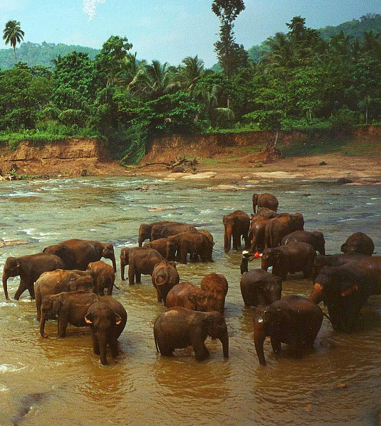 Elephant orphanage, Sri Lanka